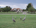 Sandhill Cranes in Florida.jpg