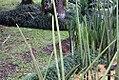 Sansevieria cylindrica 7zz.jpg