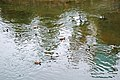 Sarajevo Grbavica River-Miljacka Mallard-Duck Anas-Platyrhynchos 2011-10-23.jpg