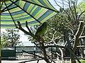 Sarge the Parrot - panoramio.jpg