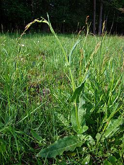 SauerampferPflanze (Rumex acetosa)