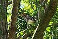 Savacu filhote (Nycticorax nycticorax) em Cesario Lange SP.jpg
