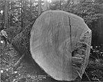 Sawyer bucking spruce log on the Oregon coast (3492739878).jpg