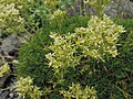 Saxifraga pedemontana subsp. prostii kz01.jpg