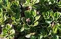 Saxifraga spathularis.jpg