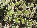 Saxifragales - Sedum kamtschaticum - 2.jpg