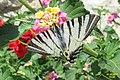 Scarce swallowtail (MakGi) (34218913403).jpg