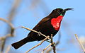 Scarlet-chested sunbird, Chalcomitra senegalensis, at Lake Chivero, Harare, Zimbabwe - male (21247780653).jpg