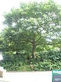 Scarlet oak opposite The Royal Oak - geograph.org.uk - 1445921.jpg