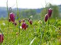 Schachbrettblumen Sinnwiesen 1.jpg