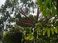 Schefflera actinophylla (14548427723).jpg