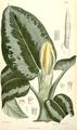 Schismatoglottis asperata from Curtis Bot Mag.png