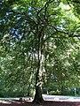 Schlosspark Nymphenburg Naturdenkmal Farnblaettrige Buche-1.jpg