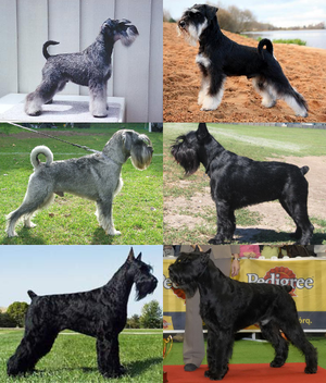 Schnauzer - The schnauzer types: Miniature, Standard and Giant.