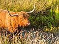 Schotse Hooglander zoekt verkoeling in het water. Locatie, natuurgebied Delleboersterheide – Catspoele 03.jpg