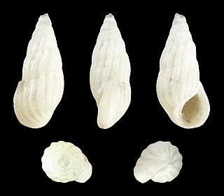 <i>Schwartziella bryerea</i> Species of gastropod