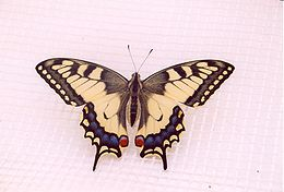 Machaonas (Papilio machaon)