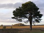 File:Scots pine north of Pig Bush, New Forest - geograph.org.uk - 291791.jpg