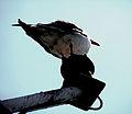 Sea Gull on a Perch (2707664772).jpg