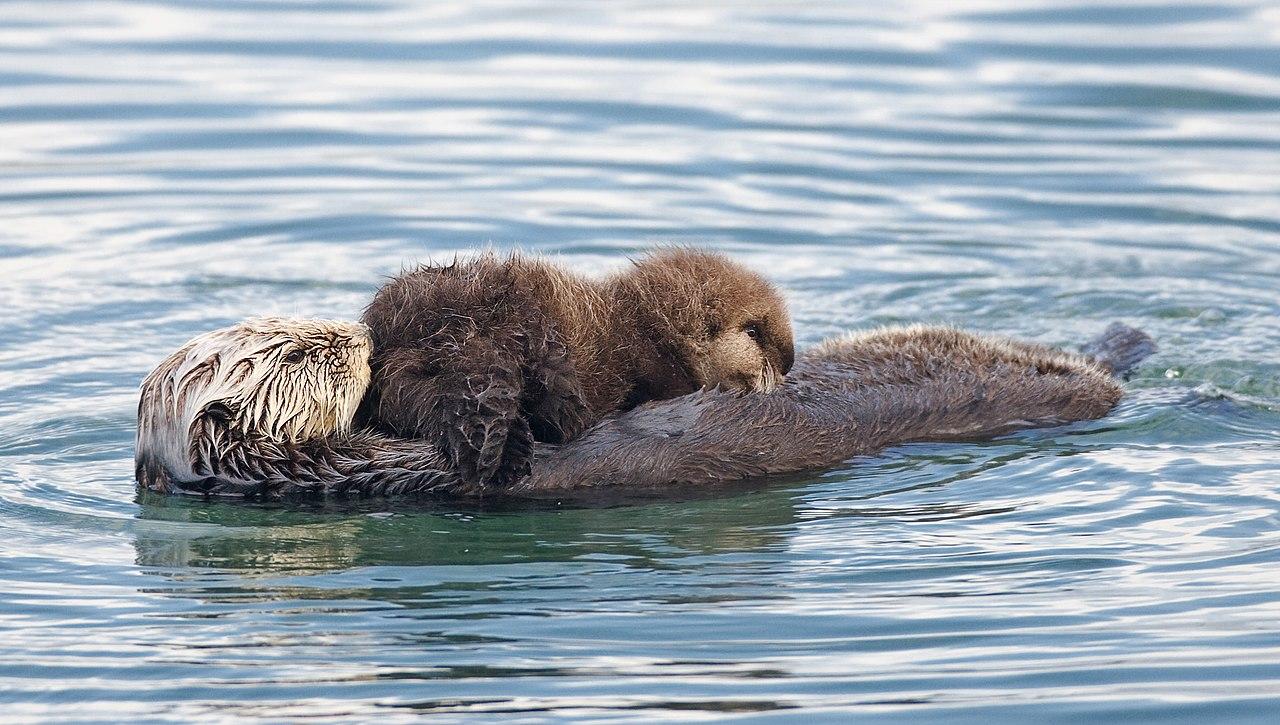 File Sea Otter Nursing02 Jpg Wikipedia
