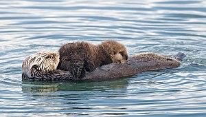 Sea otter nursing a pup