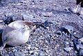 Seal on the Palmer Peninsula, Antarctica, c. 1962 (6351077806).jpg