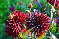 Semi-Kaktus-Dahlie Black Jack 6.jpg