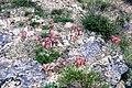 Sempervivum montanum L. (4554636207).jpg