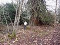 Sequoia (Wellingtonia) tree, Tarbat House - geograph.org.uk - 653228.jpg