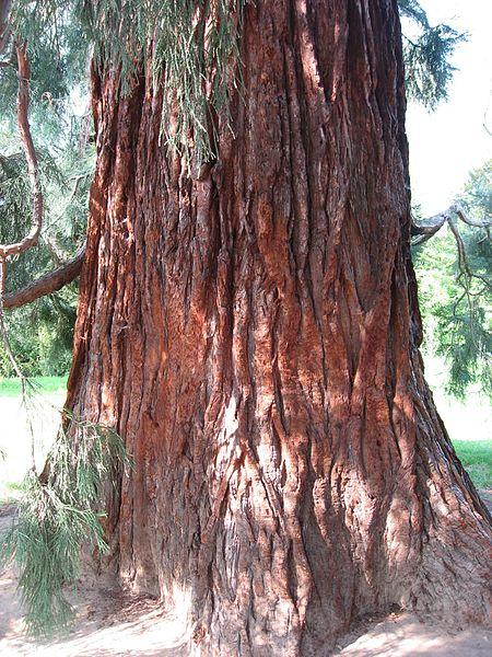 File:Sequoiadendron giganteum 01 trunc by Line1.jpg