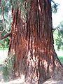 Sequoiadendron giganteum 01 trunc by Line1.jpg