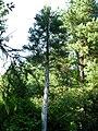 Sequoiadendron giganteum PAN.JPG
