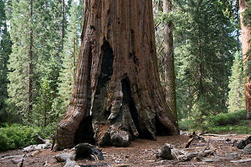 Sequoiadendron giganteum trunk.jpg
