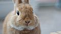 Serious bunny (5767442711).jpg