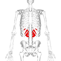 Serratus posterior inferior muscle frontal2.png