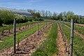 Seyval Blanc Vines, Domaine de Grand-Pré, Nova Scotia-with example of cover crop.jpg