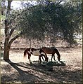Shade Horses, Cherry Valley 3-23-13 (8595974028).jpg