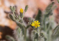 Shaggy hawkweed Hieracium horridum close.jpg