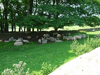 English: Sheep in the shade. On the road from ...