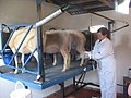 Sheep milking at Great Bircham Windmill.jpg