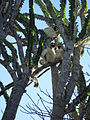 Sifakas resting in octopus tree (3964181928).jpg