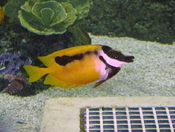 单斑蓝子鱼