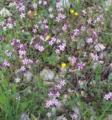 Silene aegyptiaca flowers from kdumim 2019 02.webp