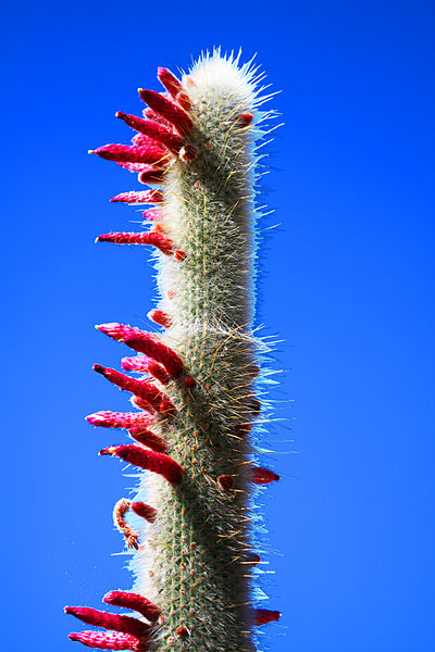 File:Silver Torch Cactus (3385189849).jpg