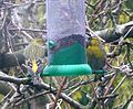 Siskins on niger feeder - Flickr - gailhampshire.jpg