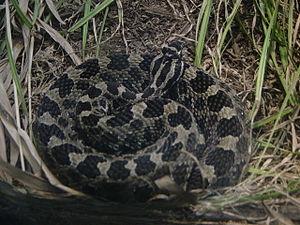 Massassauga Rattlesnake (Sistrurus catenatus c...