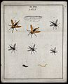 Six robber flies (Asilidæ species); adults, a larva and pupa Wellcome V0022481ER.jpg
