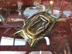 Skate egg case (Raja binoculata) 01