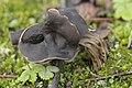 Slate Grey Saddle - Helvella lacunosa (26780999309).jpg