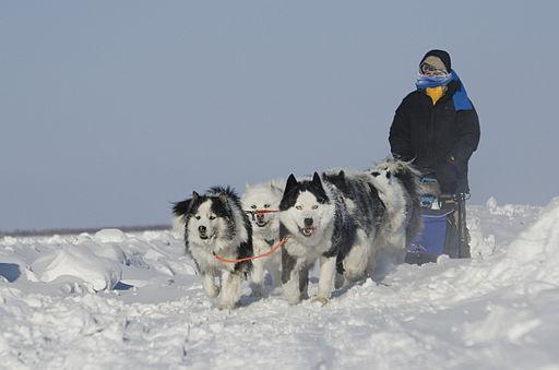 Sled dog yakut laika